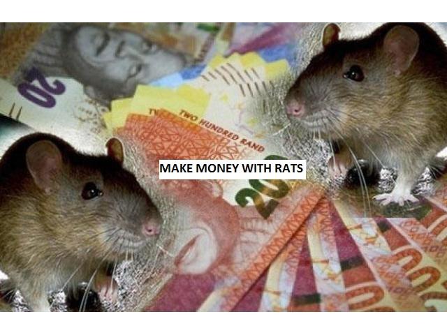 Amaghudwana ( spirit Rats hired )